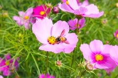Primer una abeja de la miel en la flor del cosmos Imagen de archivo libre de regalías