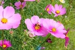 Primer una abeja de la miel en la flor del cosmos Fotos de archivo