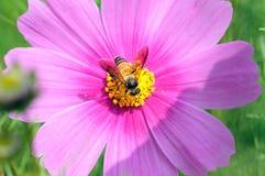 Primer una abeja de la miel en la flor del cosmos Imagenes de archivo