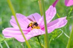 Primer una abeja de la miel en la flor del cosmos Fotografía de archivo libre de regalías