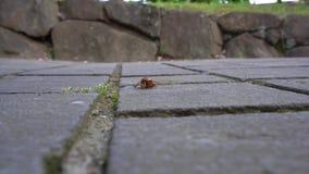 Primer una larva de la cigarra o una ninfa del cicade que se arrastra en piedras de la bandera metrajes