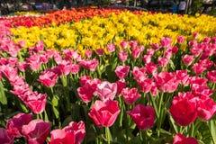 Primer varicolored hermoso de los tulipanes fotos de archivo