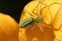 Primer verde de la araña del lince Imagen de archivo