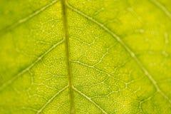 Primer verde de la hoja Imagenes de archivo