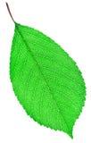 Primer verde de la hoja Imagen de archivo