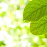Primer verde de la hoja Imágenes de archivo libres de regalías