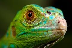 Primer verde de la iguana Imágenes de archivo libres de regalías
