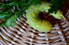 Primer verde de la oruga Imagenes de archivo