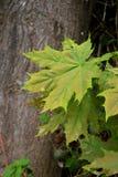 Primer verde de las hojas de arce en fondo del tronco Imágenes de archivo libres de regalías
