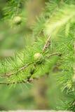 Primer verde de los conos del pino Imagen de archivo libre de regalías