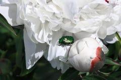 Primer verde del escarabajo en una flor blanca en un fondo de hojas verdes fotografía de archivo libre de regalías