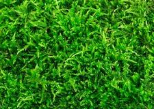 Primer verde hermoso de la textura del musgo, fondo con el espacio de la copia Imágenes de archivo libres de regalías