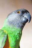 Primer verde y amarillo del loro de Senegal fotografía de archivo libre de regalías