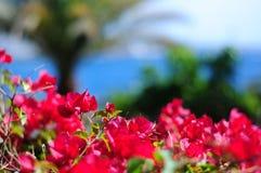 Primer vibrante de las flores de los colores con el fondo borroso Boug rojo Fotografía de archivo libre de regalías