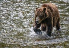 Primer viejo del oso Fotos de archivo libres de regalías