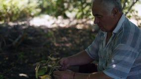 Primer, viejo hombre que recolecta la cosecha del espárrago almacen de metraje de vídeo