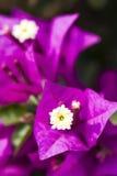 Primer violeta de la buganvilla imagen de archivo