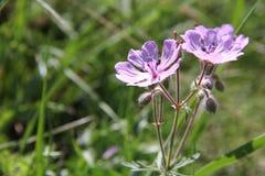 Primer violeta de la flor Imagen de archivo