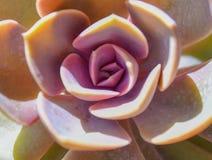 Primer violeta suculento de la macro de la planta del fondo del cactus imagen de archivo