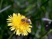 Primer y abeja amarillos brillantes de la flor del diente de león Fotos de archivo