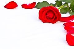 Primer y rojo hermoso aislado Tailandia color de rosa Fotografía de archivo libre de regalías