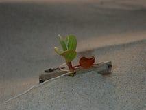 Primer y tiro macro en la hoja min?scula de la flor de la correhuela que crece en la orilla de mar fotos de archivo