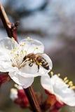 Primera abeja Imágenes de archivo libres de regalías