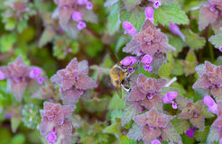 Primera abeja que busca el néctar en flores salvajes de la muerto-ortiga del henbit Imagen de archivo