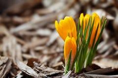 Primera azafrán de la primavera Fotografía de archivo libre de regalías