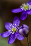 Primera flor Fotos de archivo