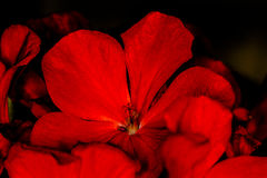 Primera flor Fotografía de archivo libre de regalías