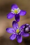 Primera flor Imagen de archivo libre de regalías