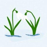 Primera flor de la primavera de Snowdrop Foto de archivo libre de regalías