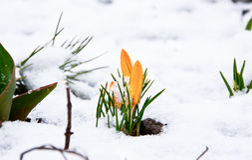 Primera flor del azafrán imagenes de archivo