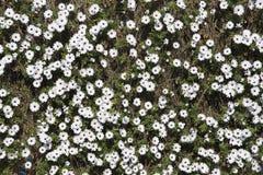 Primera flor del resorte Margarita Fotos de archivo libres de regalías