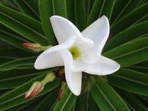 Primera floración Foto de archivo libre de regalías