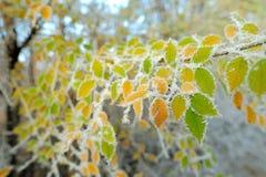 Primera helada en las hojas del abedul amarillo Fotografía de archivo