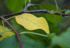 Primera hoja amarilla del otoño imagen de archivo libre de regalías