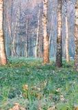 Primera mañana escarchada en un bosque del abedul Fotos de archivo libres de regalías