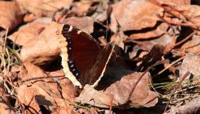 Primera mariposa de la estación de primavera Fotografía de archivo