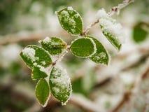 Primera nieve de la estación en las hojas verdes inmóviles Fotografía de archivo
