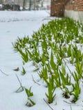 Primera nieve de la primavera en las plantas verdes de Brooklyn debajo nieve del 21 de marzo de 2018 Foto de archivo libre de regalías