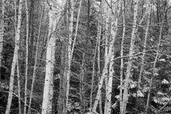 Primera nieve en árboles de abedul Foto de archivo
