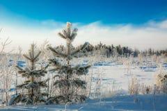 Primera nieve en agujas Imagen de archivo libre de regalías
