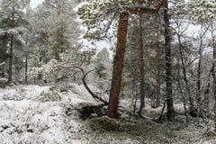 Primera nieve en el bosque Fotografía de archivo libre de regalías