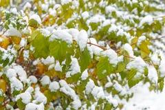 Primera nieve en las hojas Fotografía de archivo libre de regalías