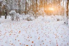 Primera nieve en los árboles nevados del bosque en la madera Imagenes de archivo