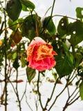 Primera nieve y rosas pasadas Fotos de archivo