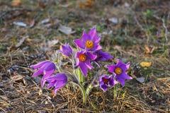Primera pasque-flor de Bush en el bosque de la primavera fotos de archivo