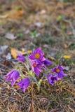 Primera pasque-flor de Bush en el bosque de la primavera fotografía de archivo